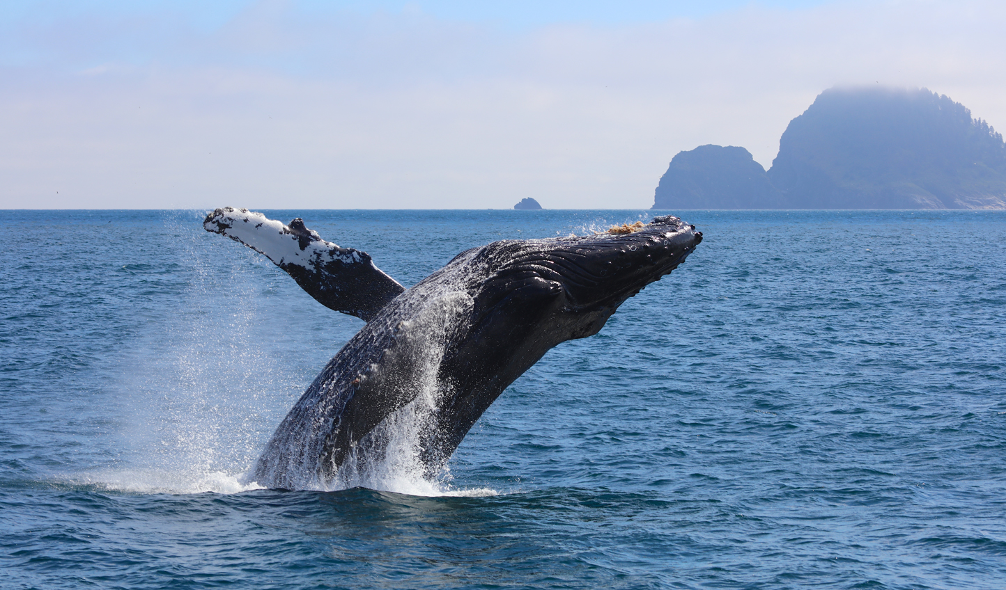 Humpback whales put on a show in Kenai Fjords National Park