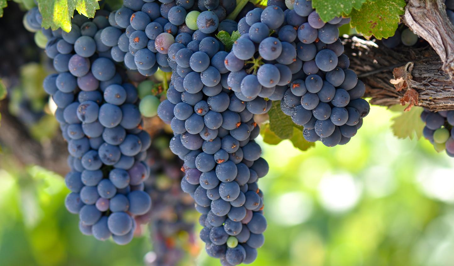 Red-Grapes-Napa_59181946