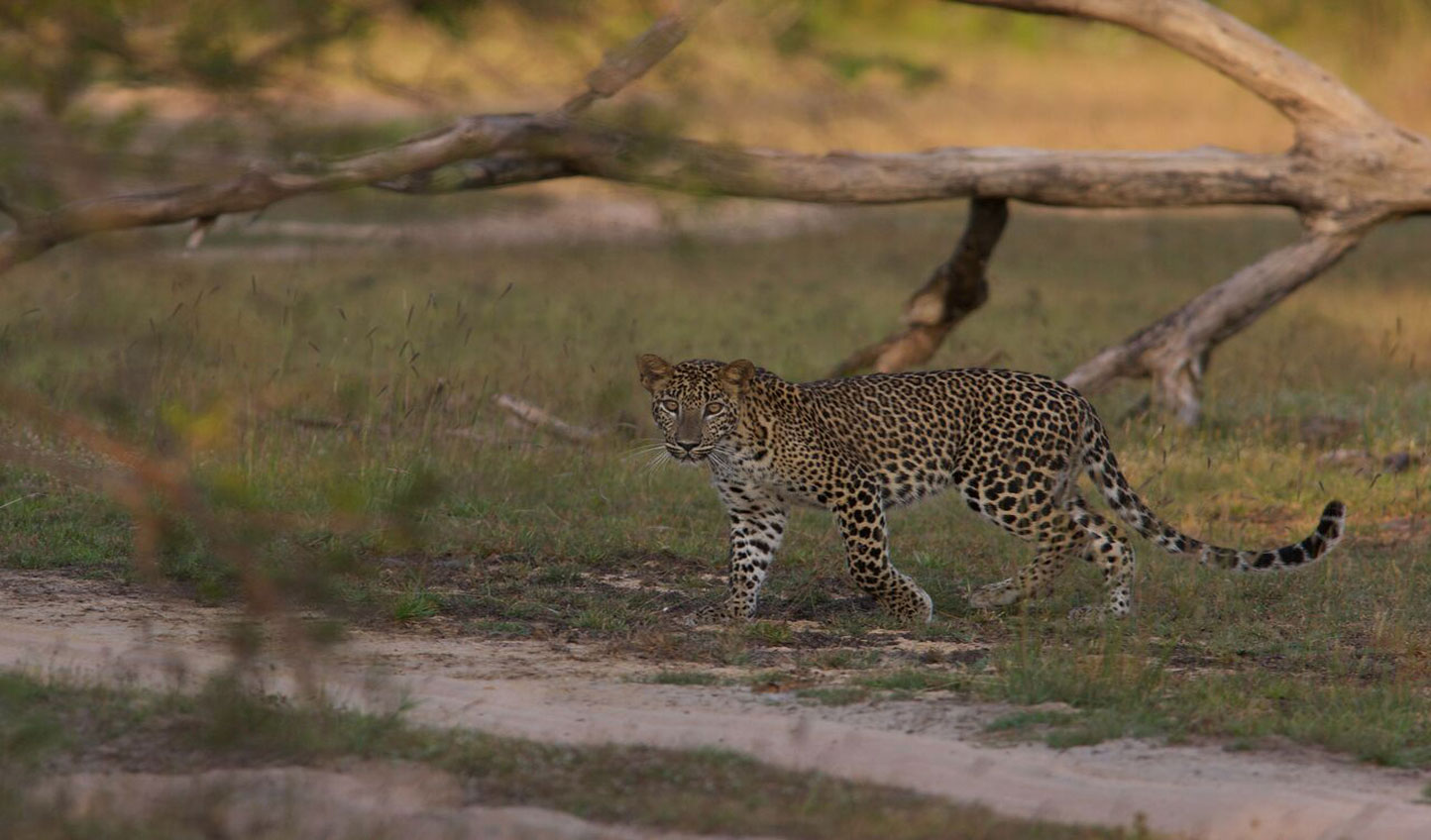 A Leopard on the hunt