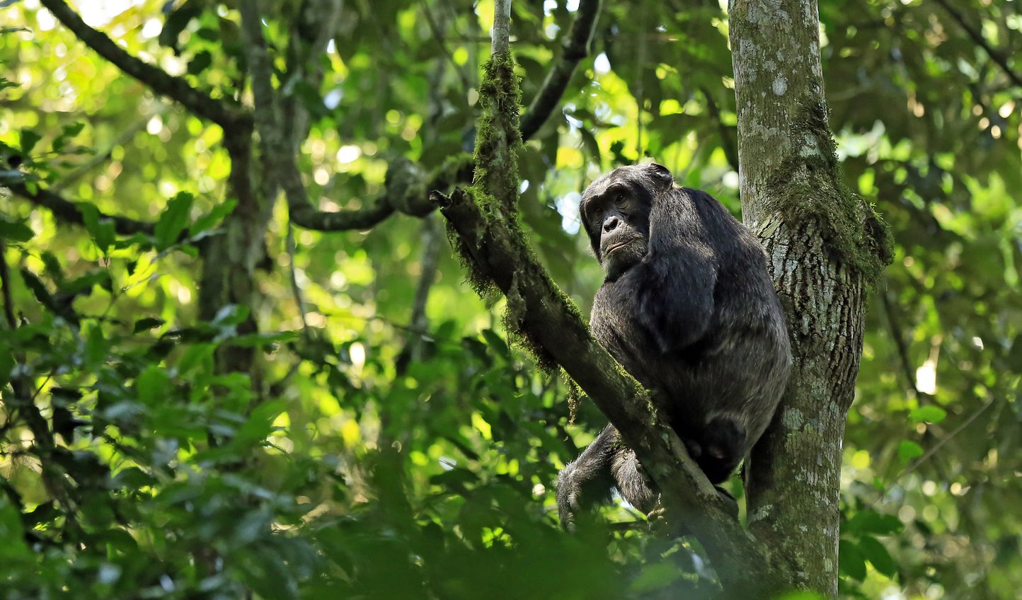 Spot chimpanzees high up in the canopy of Kimbale National Park