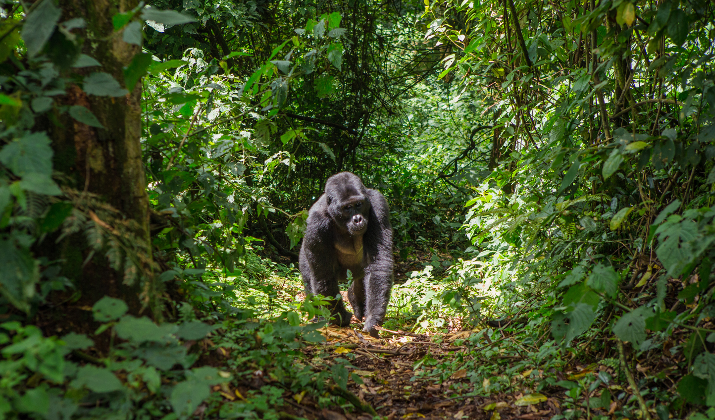Walk with gorillas through Bwindi Impenetrable Forest