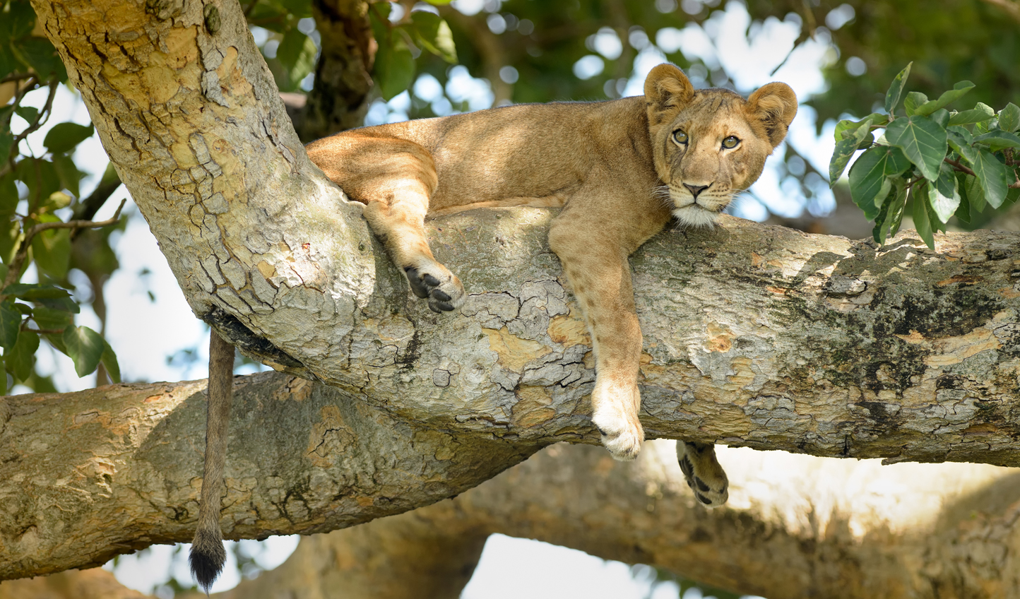 Hang out with lions in Queen Elizabeth National Park