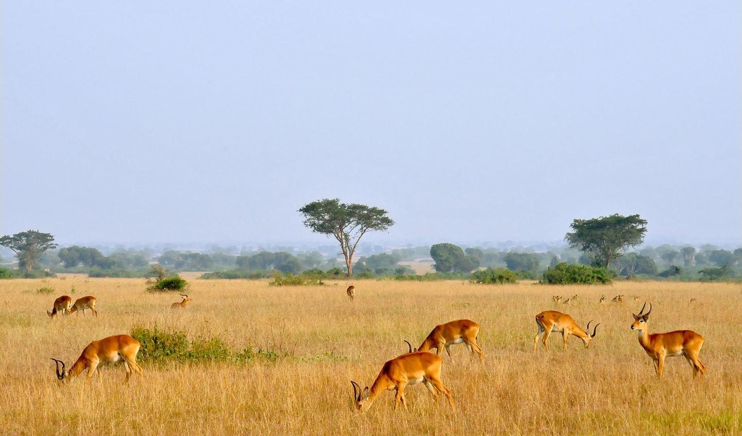 Spot herds of Ugandan kob in Queen Elizabeth National Park