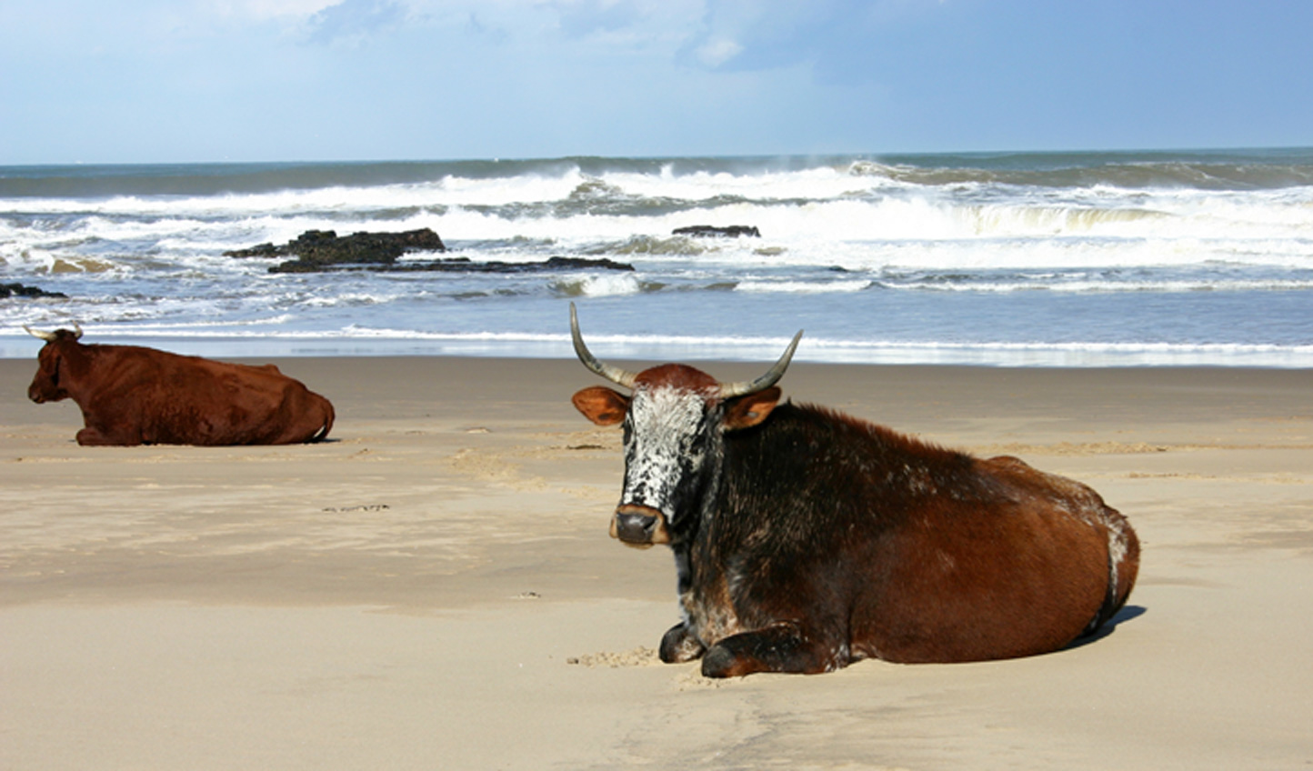 Rather than pesky seagulls you will see sun bathing cows on the beach-who knew?