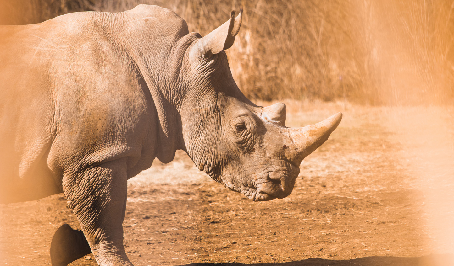It is not uncommon to see herds of 40 rhinos at a time at Solio