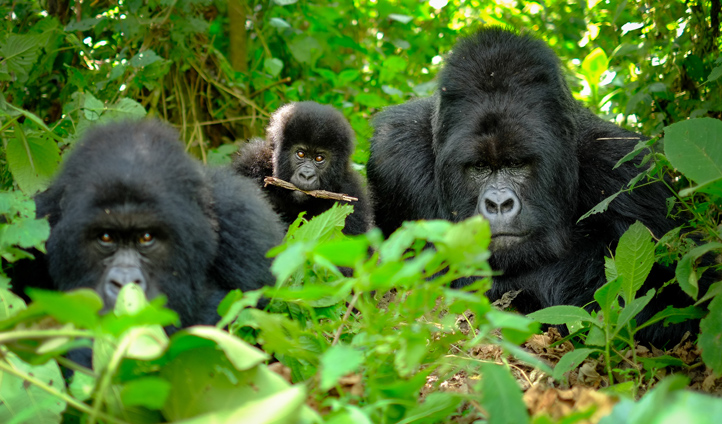 Track habituated Western Lowland Gorillas through the foothills of Virunga