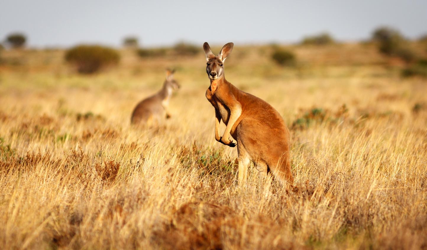 Breakfast with kangaroos in the Australian bush