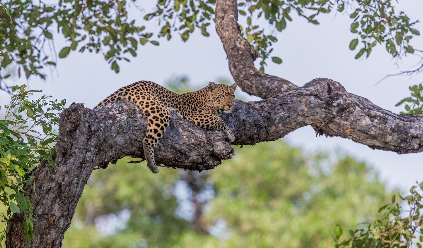 Spot leopards in the South Luangwa National Park
