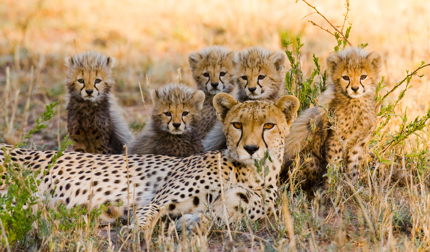 Spot cheetahs on a game drive