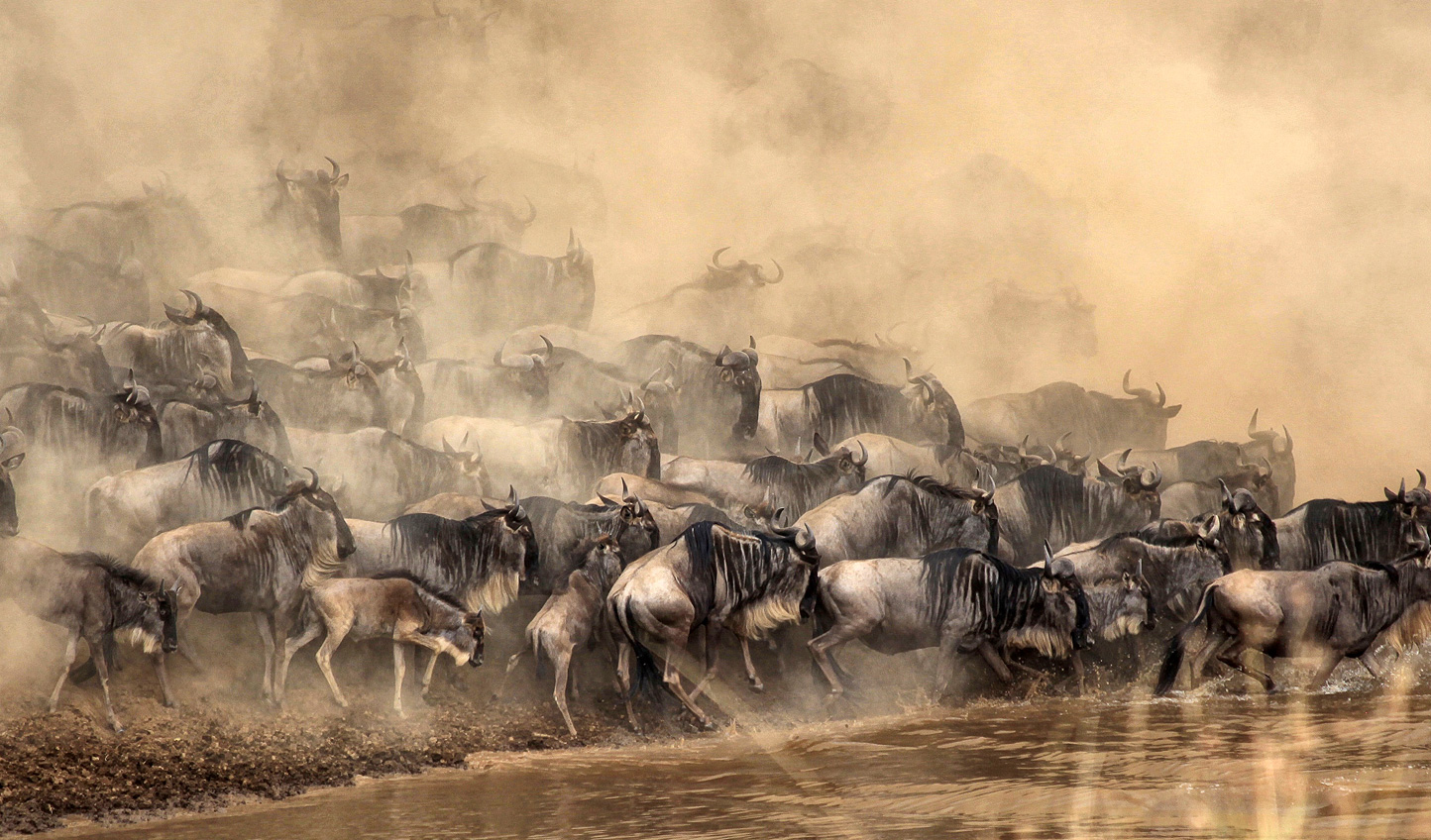 See the dramatic wildebeests river crossings for yourself