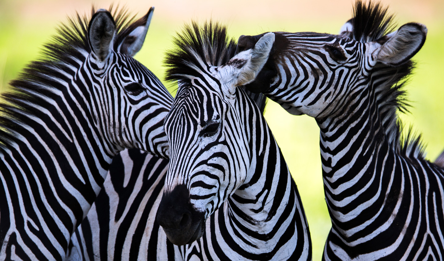 Laying eyes on a herd of zebras is sure to put a smile on the kids' faces