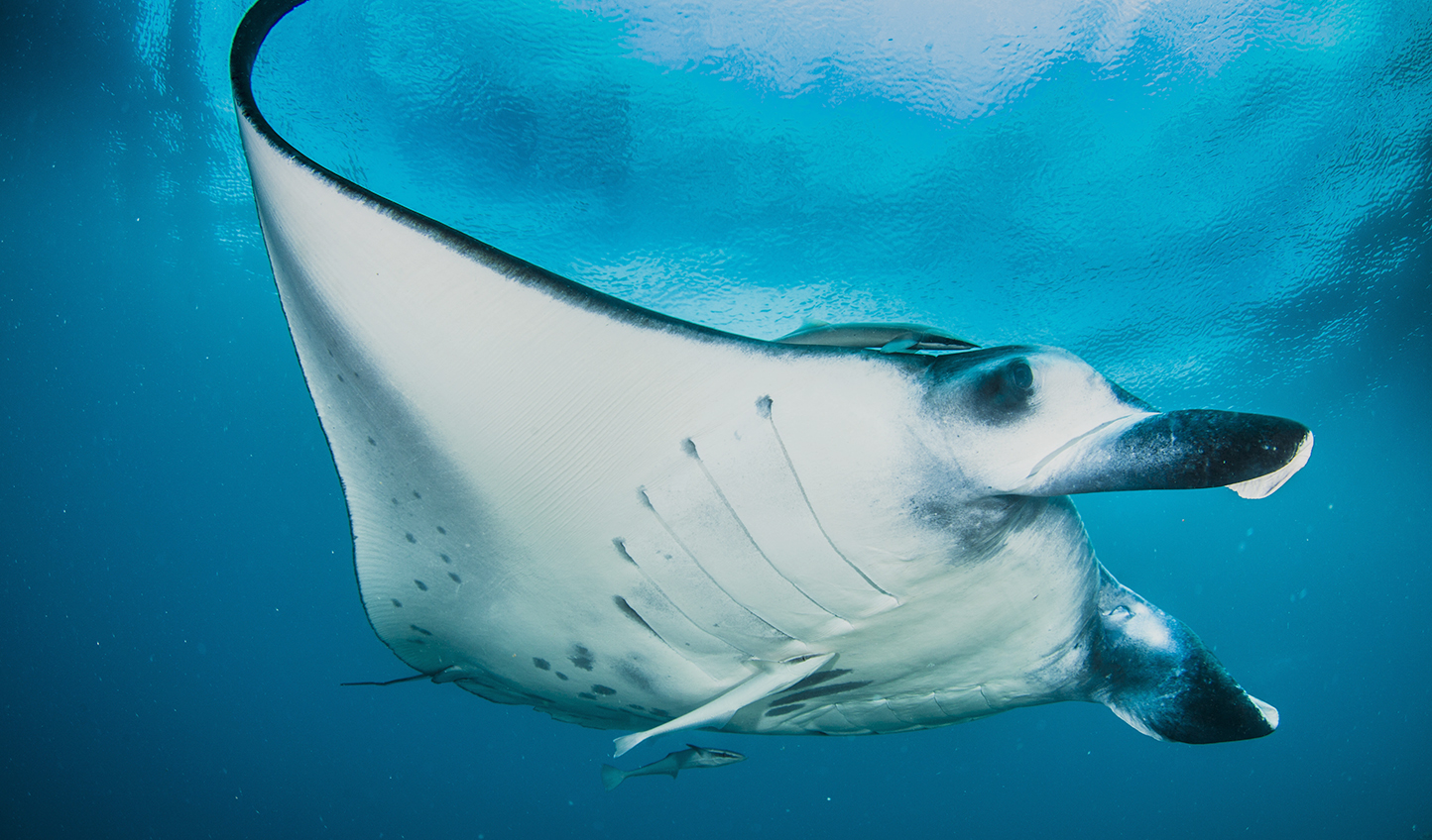 Dive or snorkel over the sandy bottom and wait for giant Manta Rays to pass.
