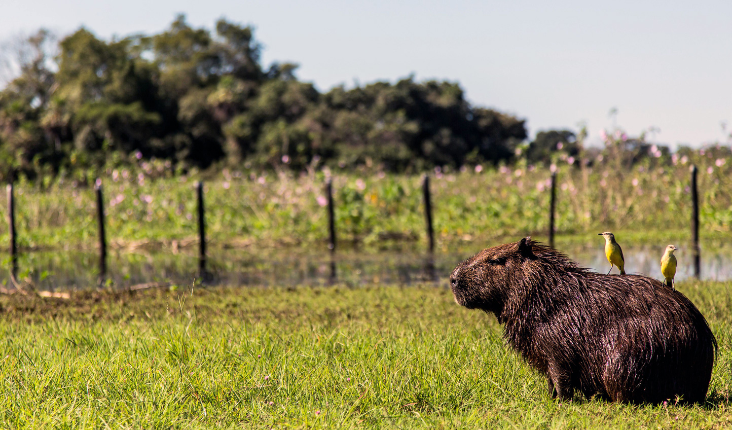 WEB-Capybara