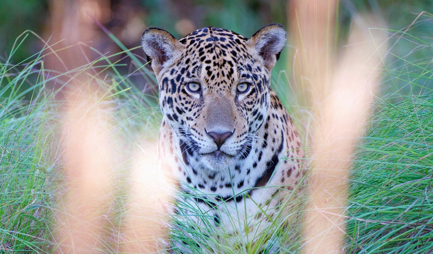 WEB-Jaguar
