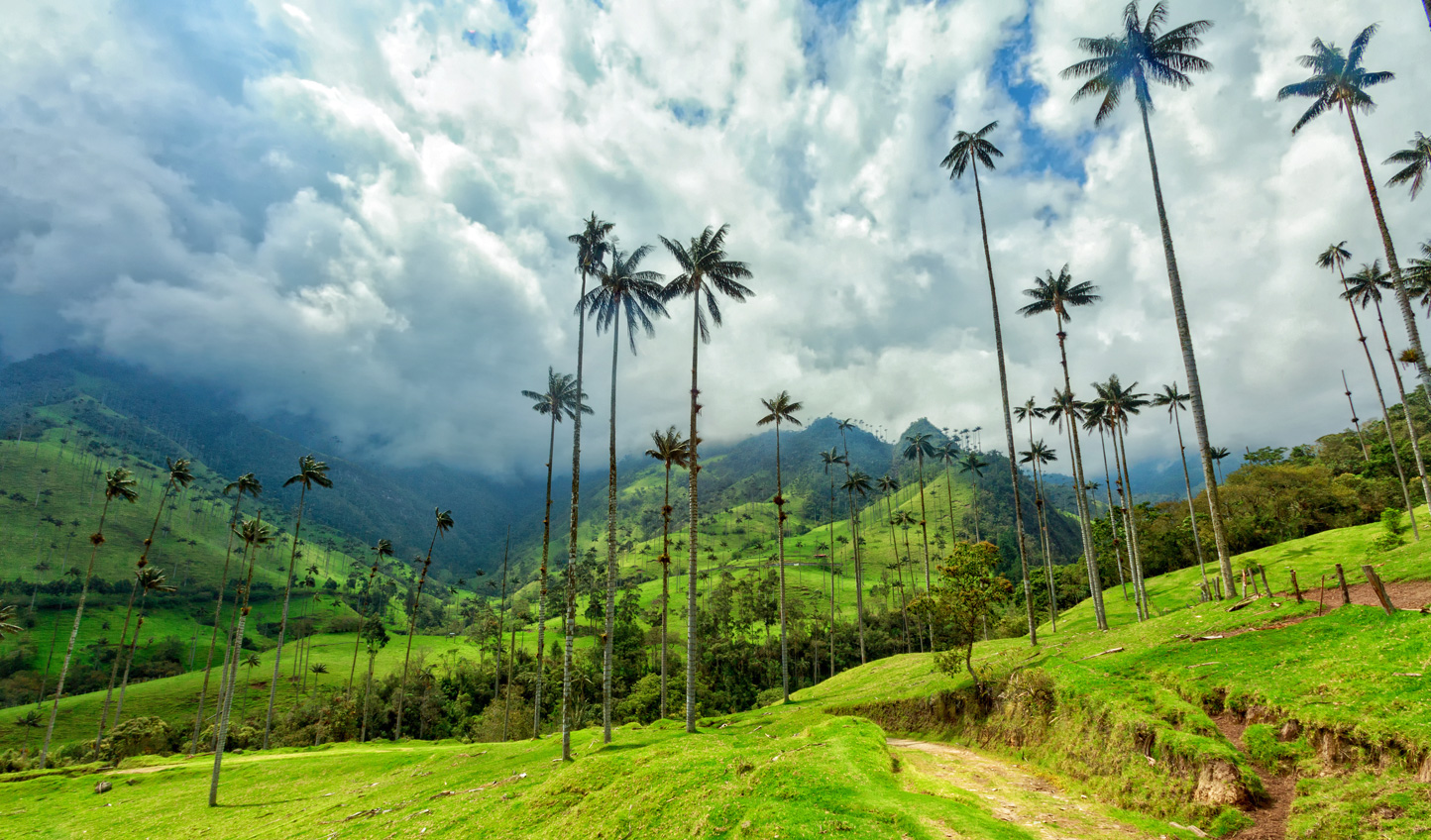 The 60 foot palm trees famous to Cafetero