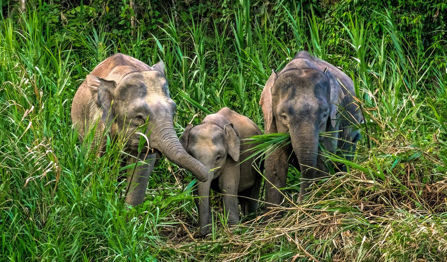 Elephants frequent the banks of the Kinabatangan River