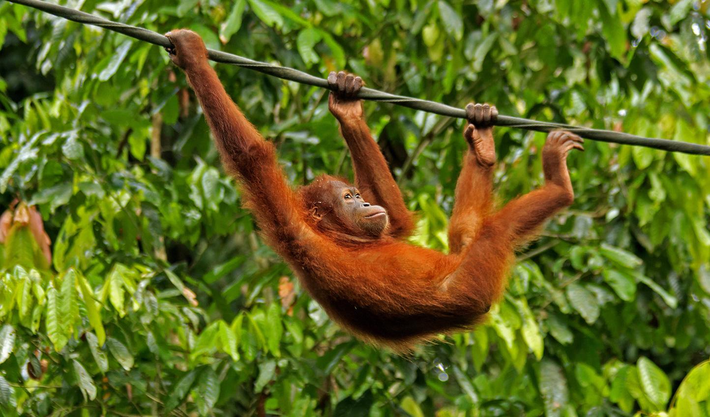 Spend a fun afternoon at Sepilok Orangutan Rehabilitation Center