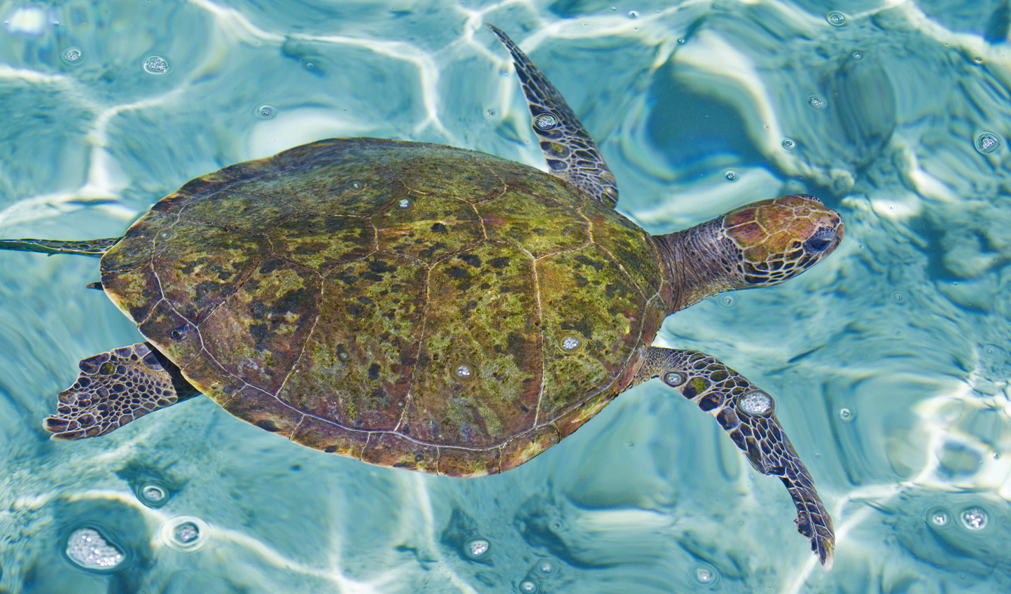 A turtle in the transparent waters of the Rosario Islands
