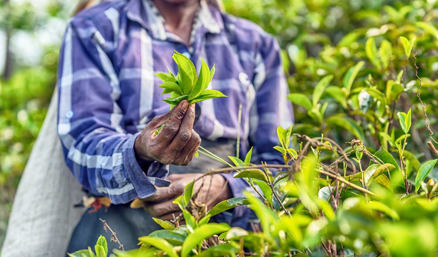 Visit a nearby tea plantation and learn about how tea goes from leaf to cup
