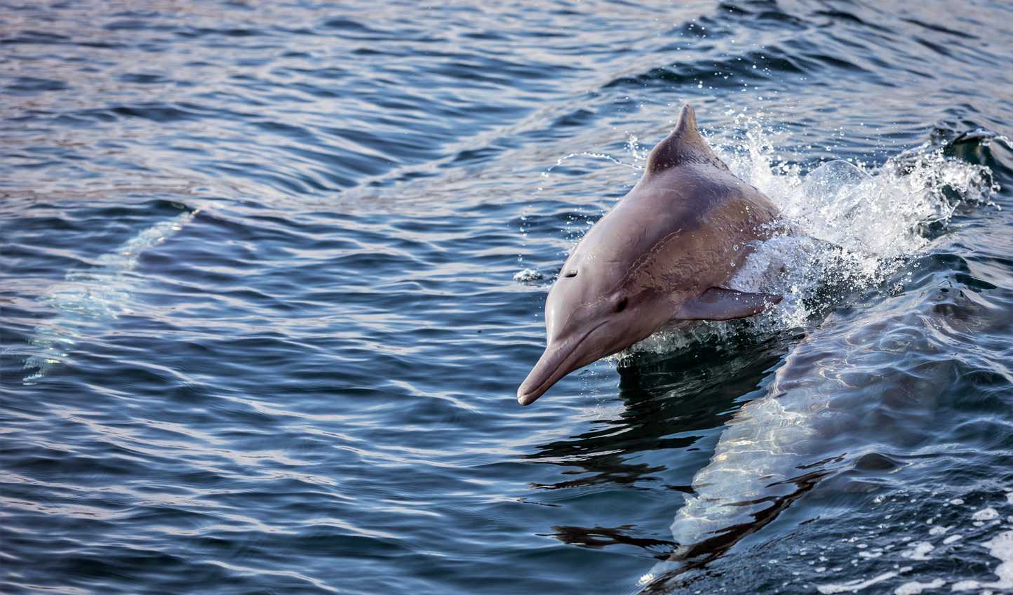 Follow the dolphins out into the Gulf of Oman