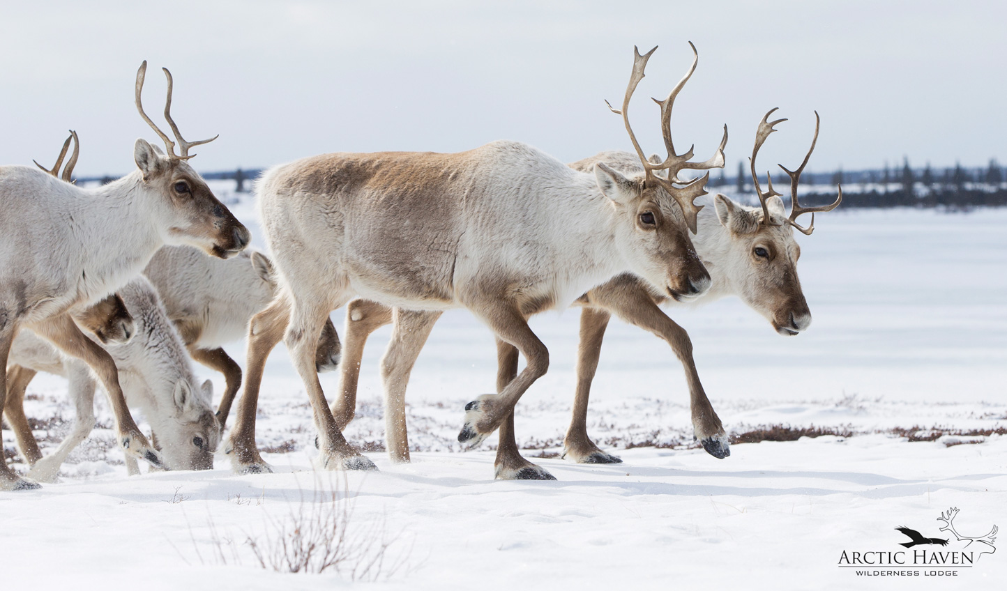 Walk alongside Arctic wildlife