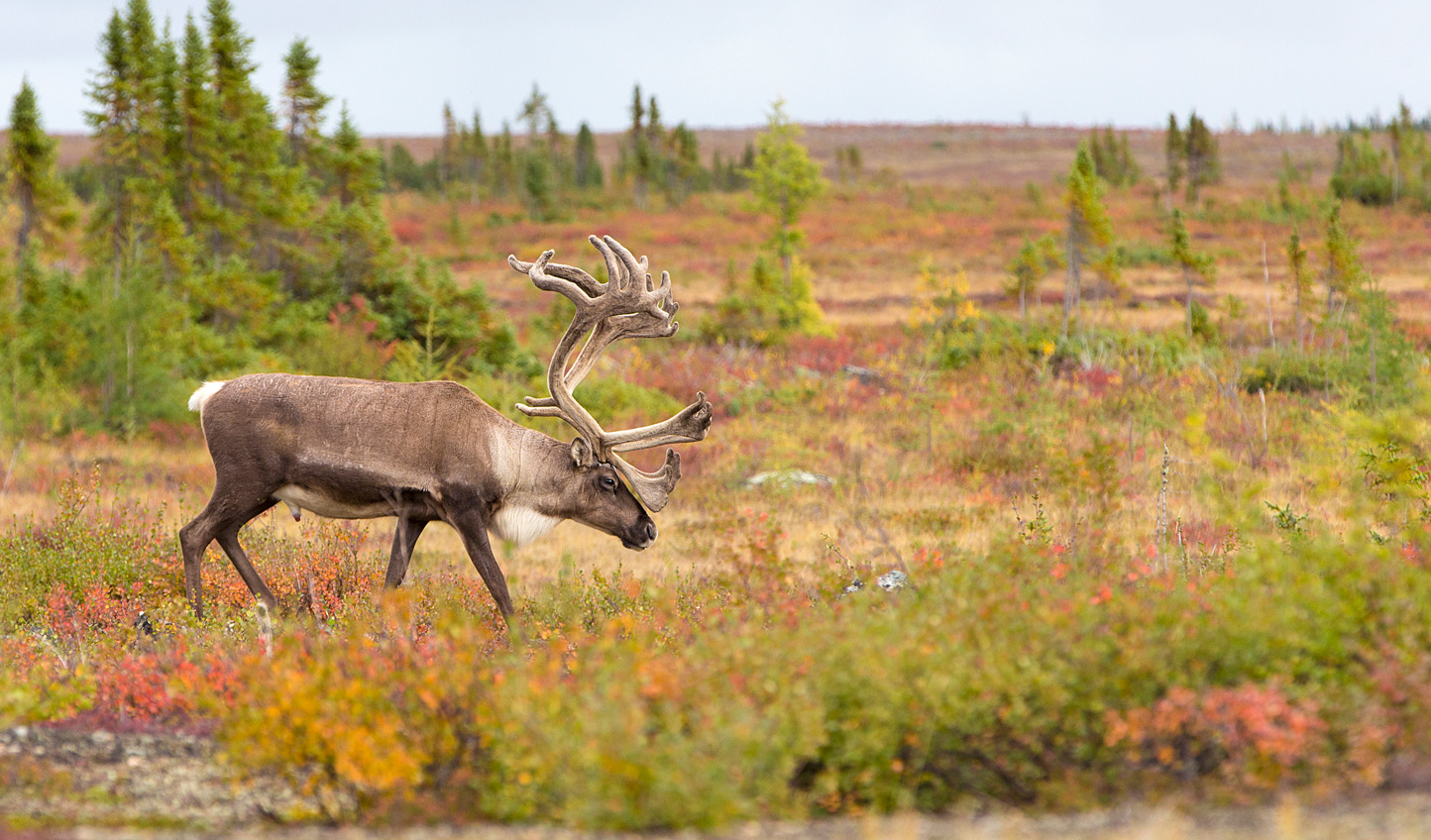Catch sight of the caribou migration