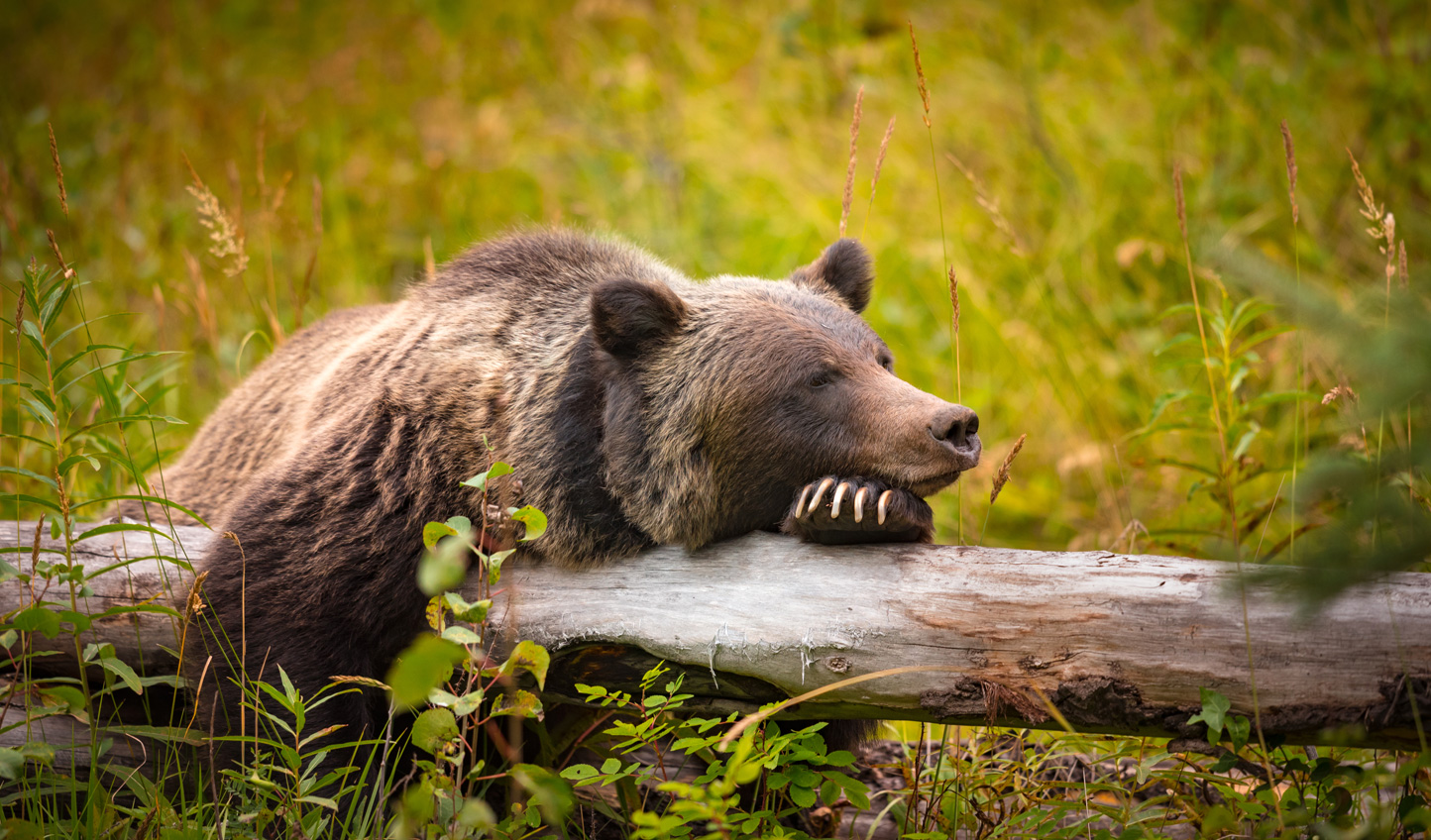 Spot grizzlies in their natural habitat out on Vancouver Island