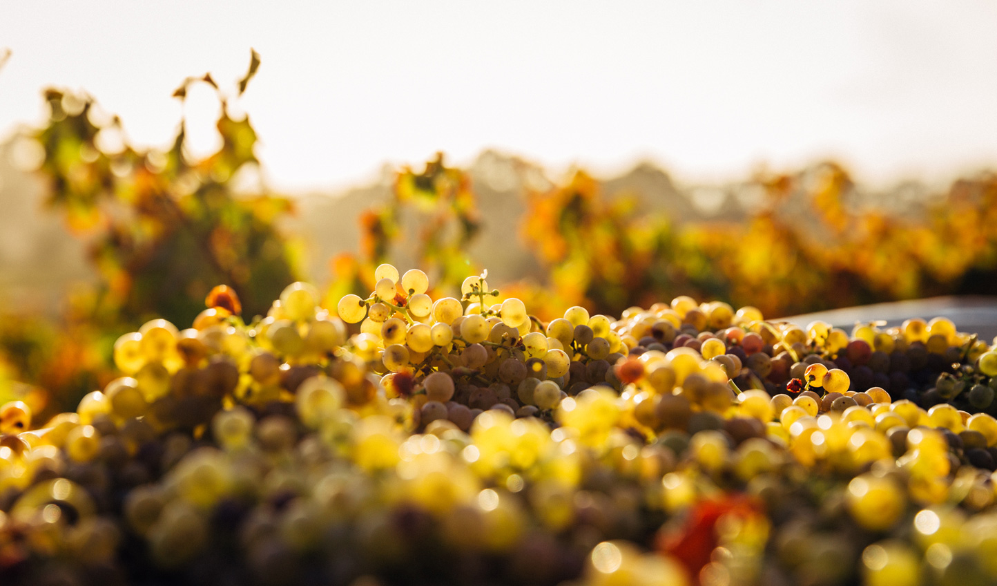 Learn to distinguish your chardonnay from your sauvignon blanc