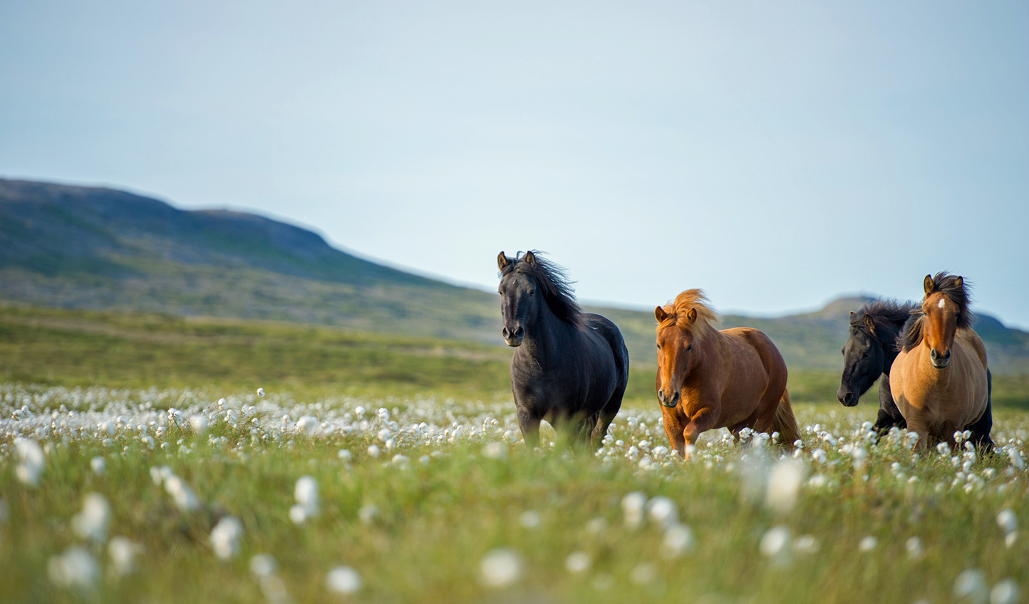 Saddle up and horseback across the Icelandic landscapes