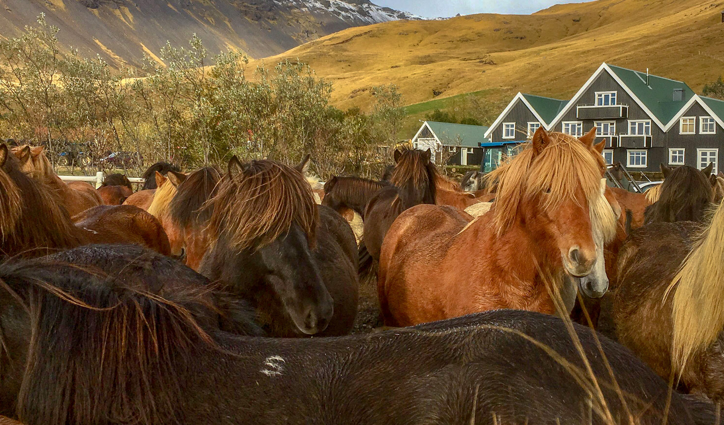 Saddle up on an Icelandic horse with their unique five gaits