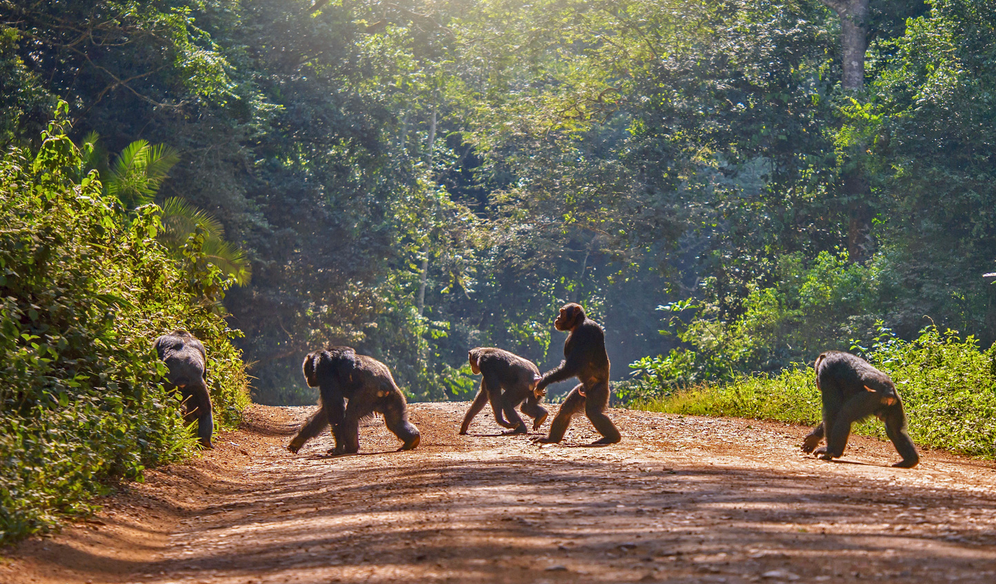 Walk with gorillas, chimpanzees, monkeys and more through Rwanda and Uganda
