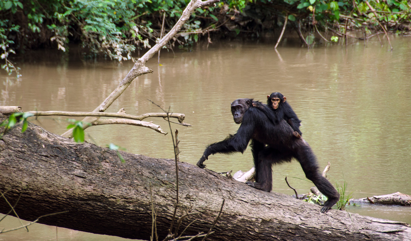 Walk alongside the chimps of Kyambura Gorge