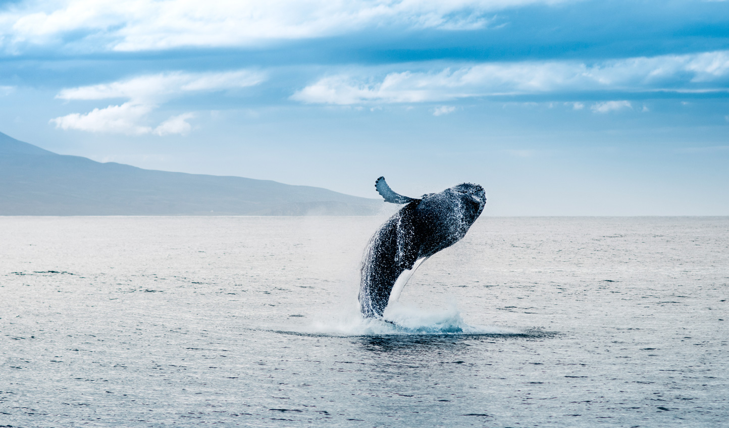 Soar above the oceans and catch sight of humpback whales breaching