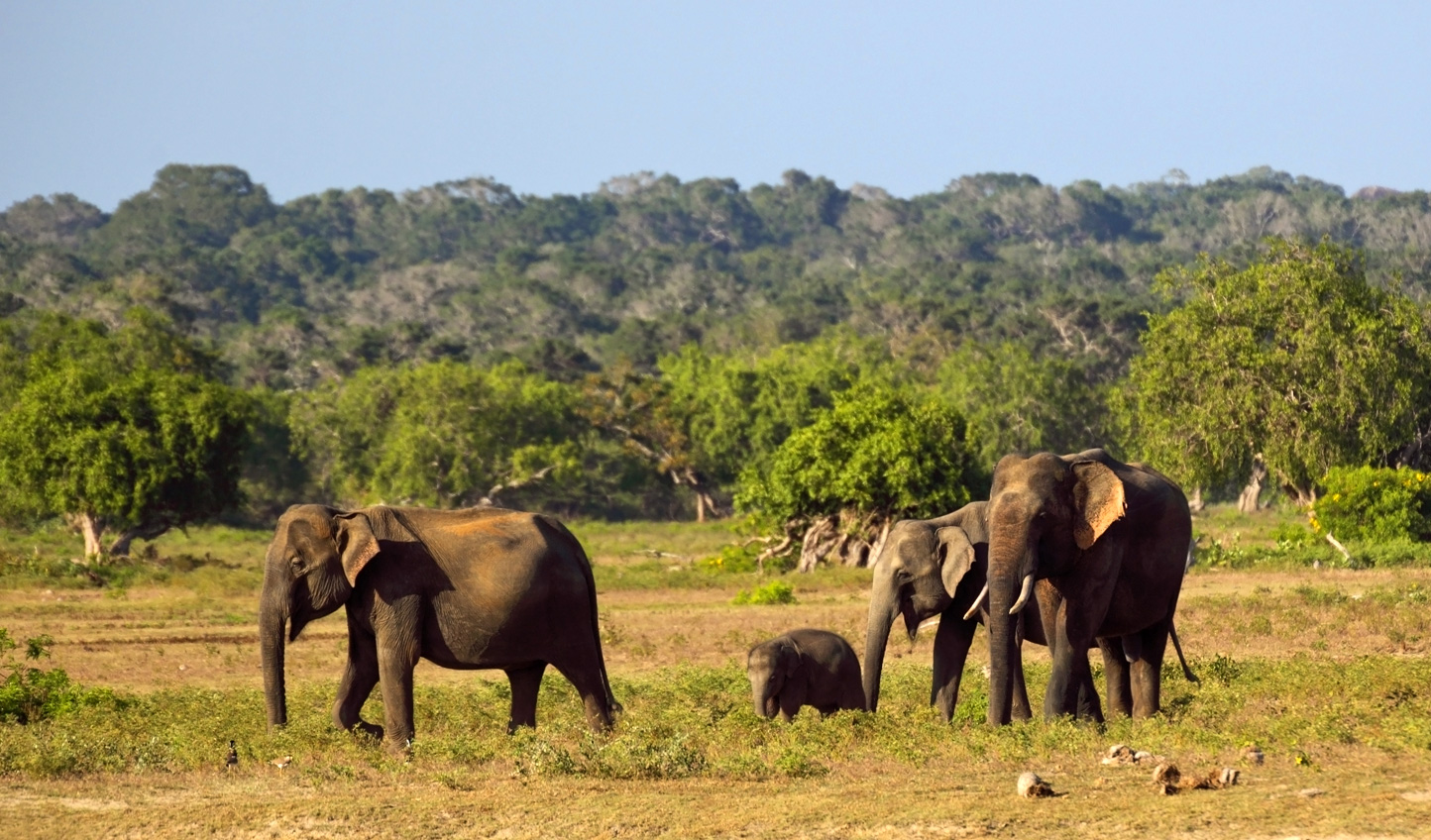 Elephants-in-Yala