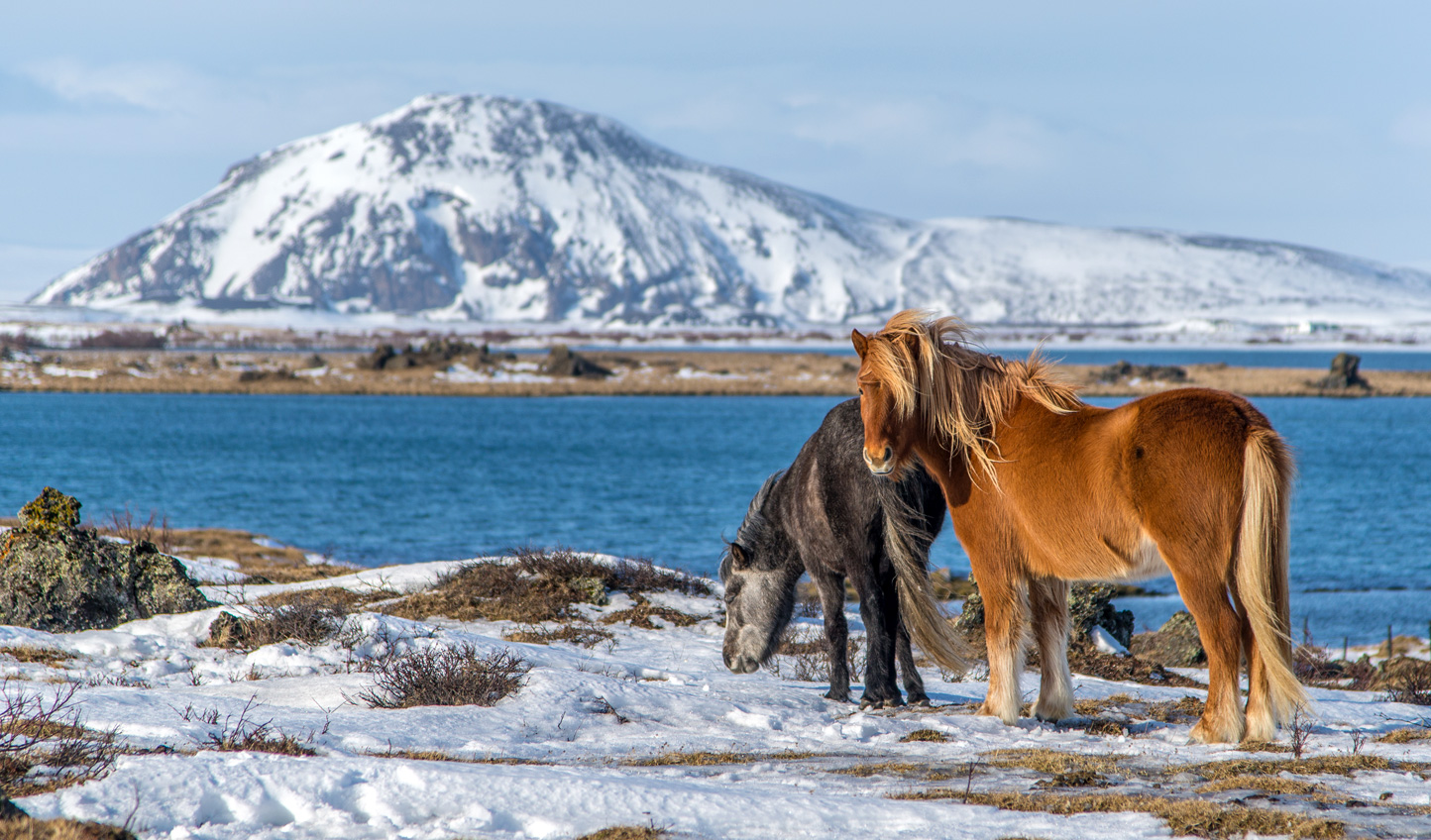 Explore the shores of Lake Myvatn - along with the local wildlife