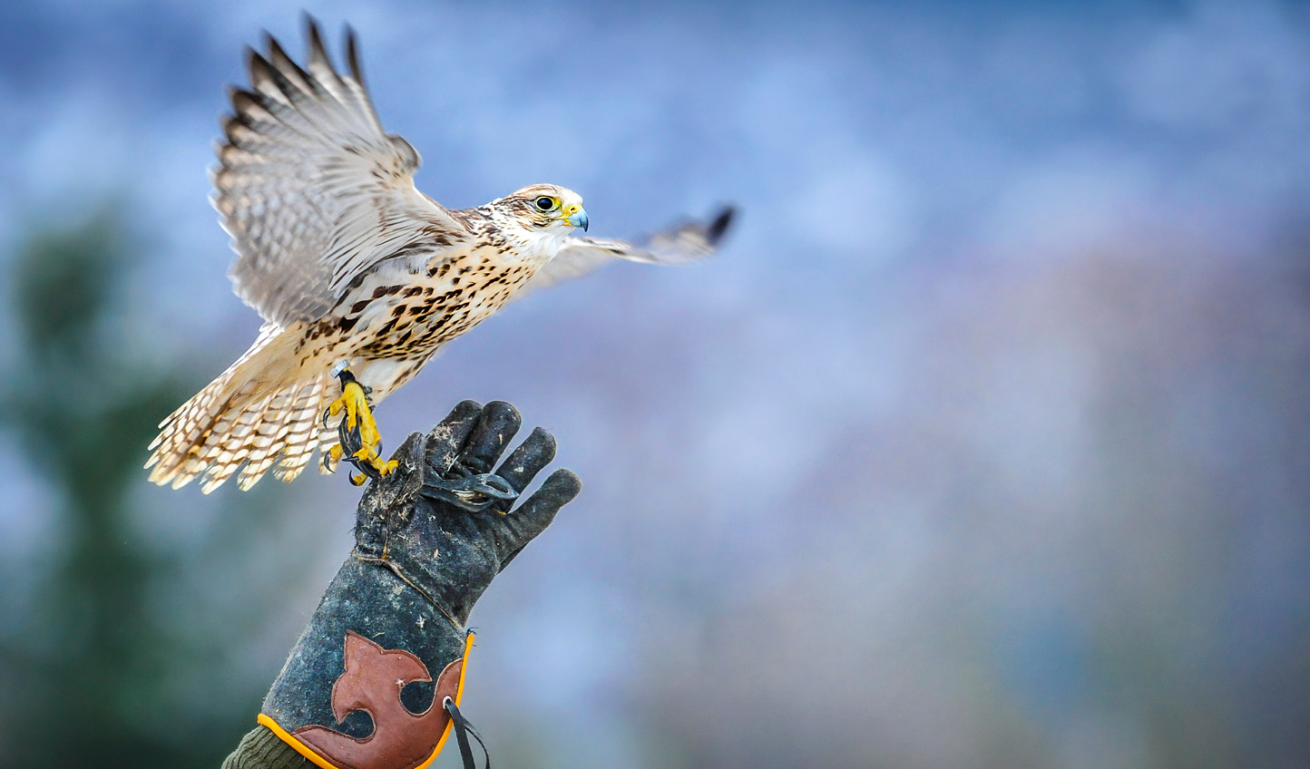 Try your hand at the ancient sport of Falconry
