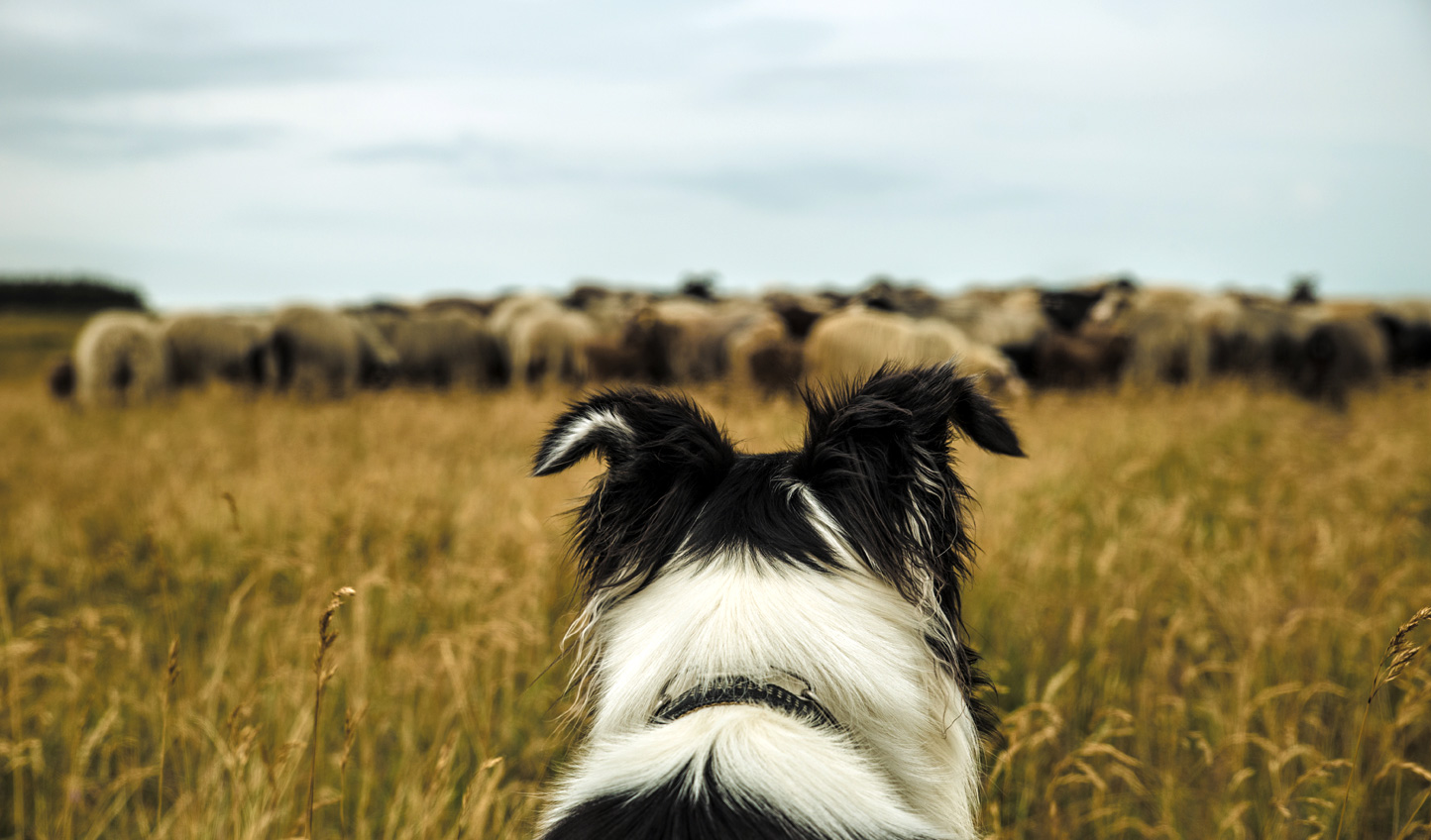 Join a local farmer and his sheepdog as they show you how to herd the sheep
