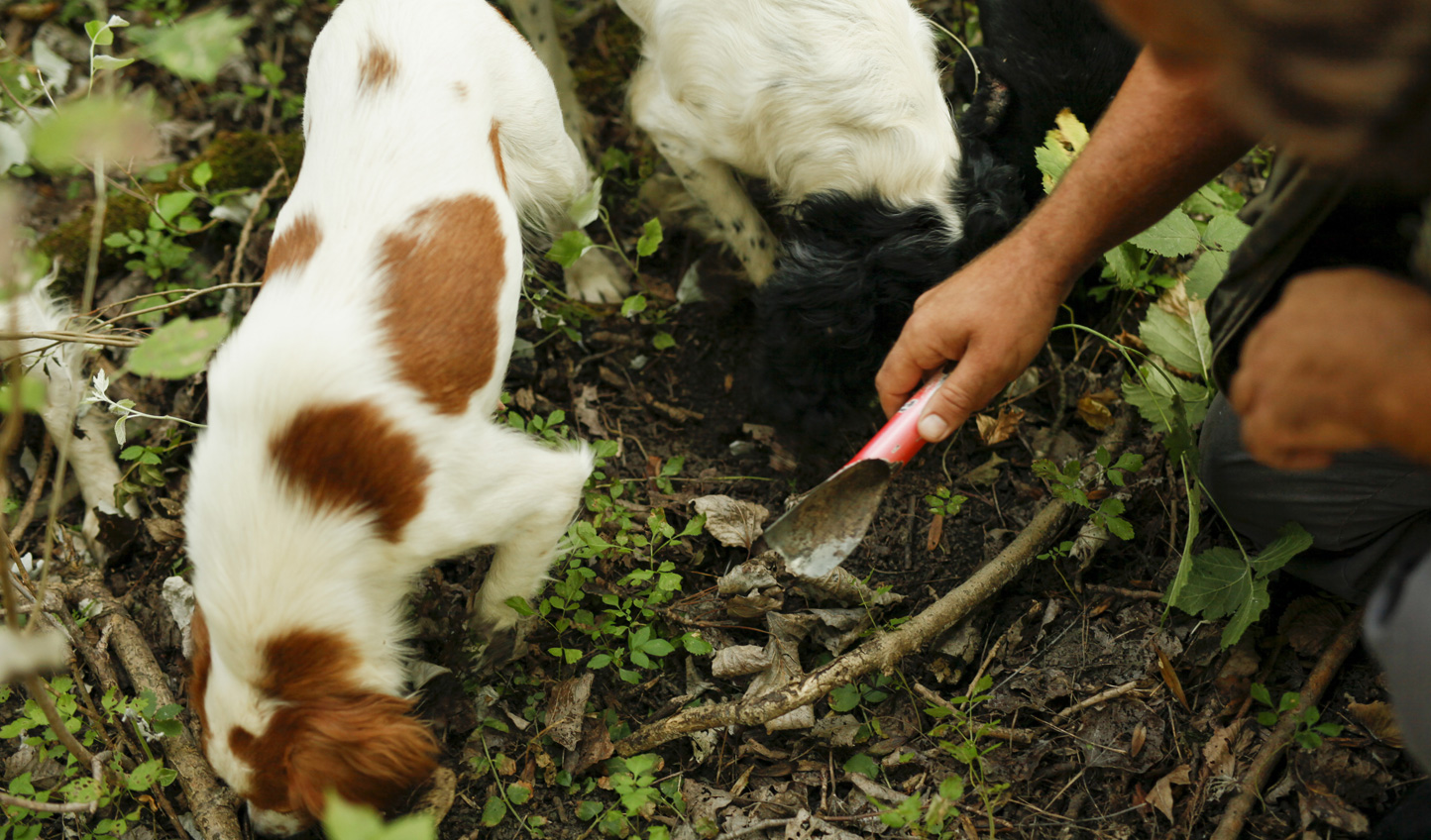 Join a local truffle hunter and go in search yourself