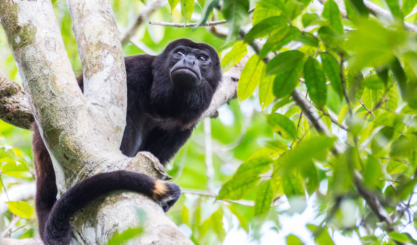Keep your eyes peeled for the local howler monkeys