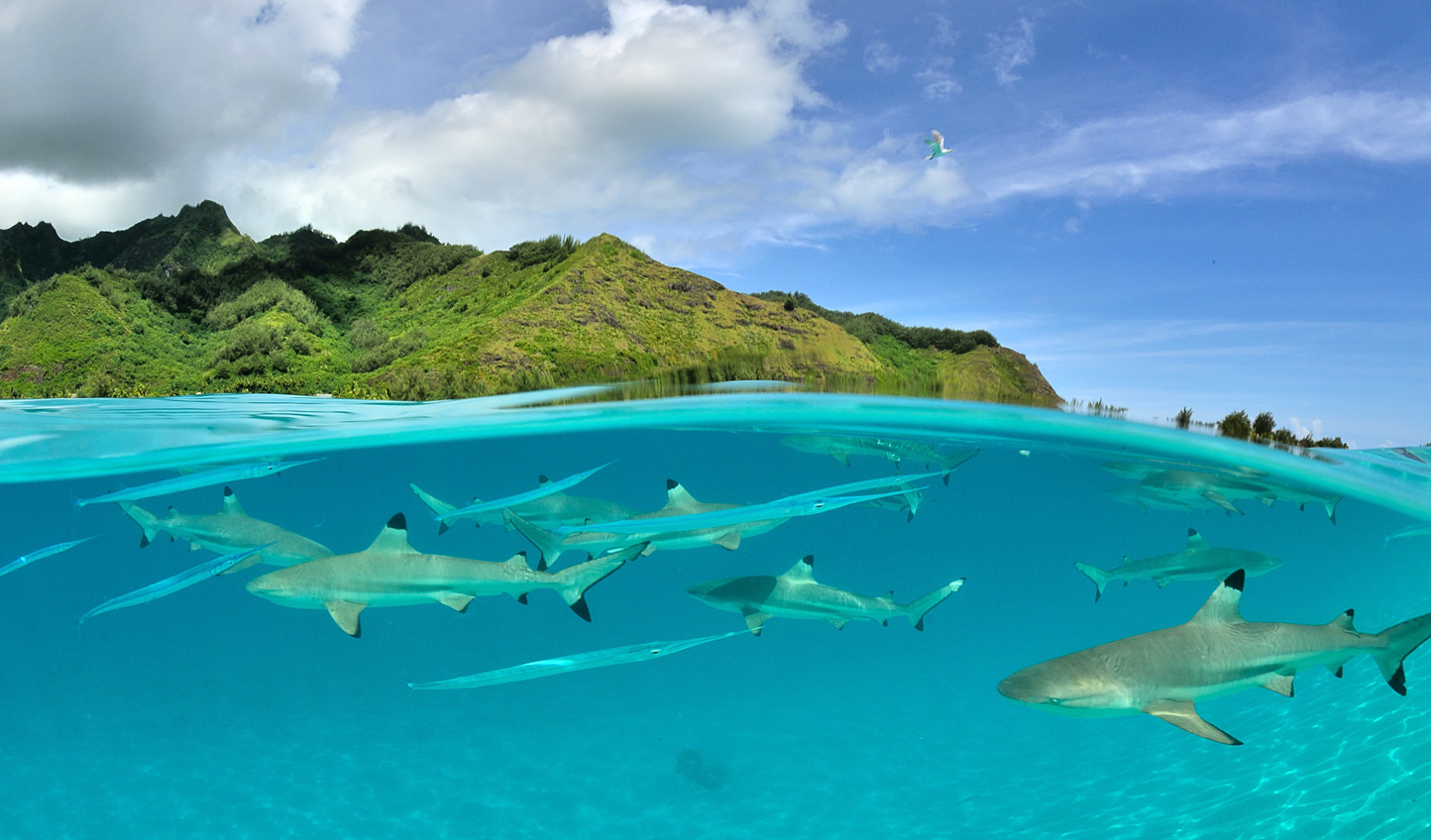 Face your fears and take a dip with Bora Bora's friendly reef sharks