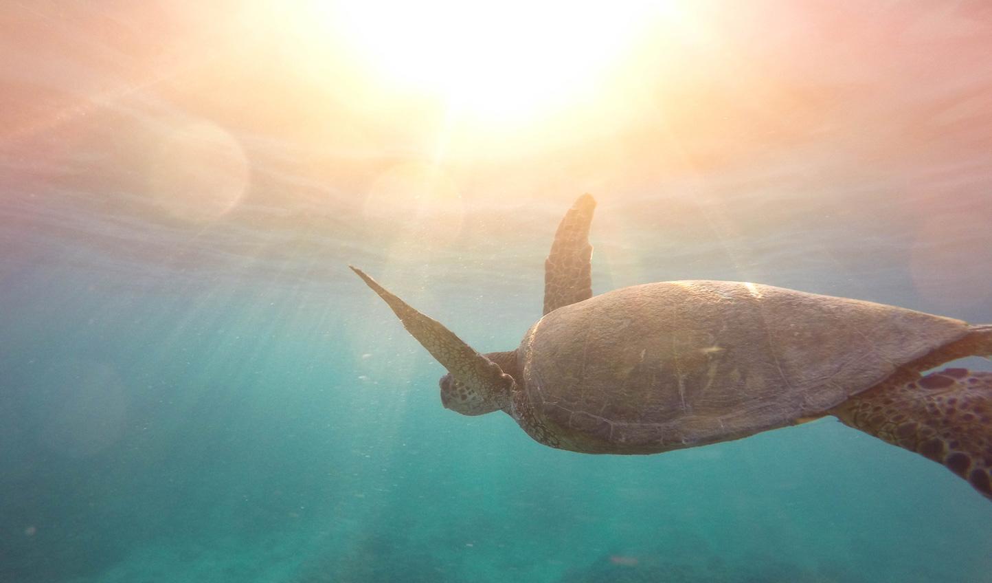 Swim with Hawaiian Green Sea Turtles