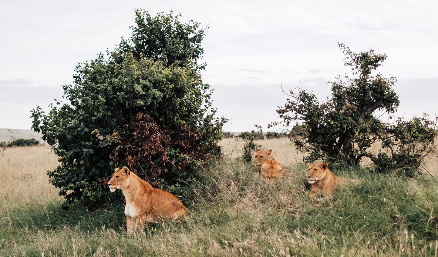 Catch sight of lions in the bush