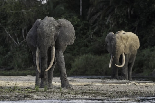 elephants in congo