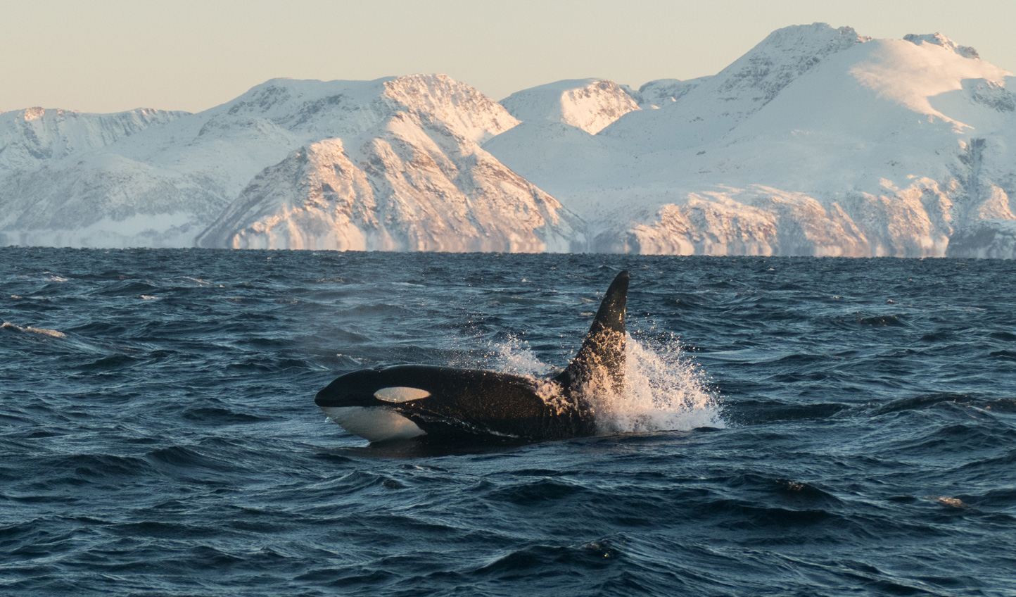 Aurora Lodge, Lyngen Alps | Whale Watching | Luxury Holidays and Lodges in Norway